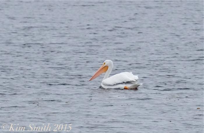 White pelican Massachusetts gloucester ©Kim Smith 11-16-15