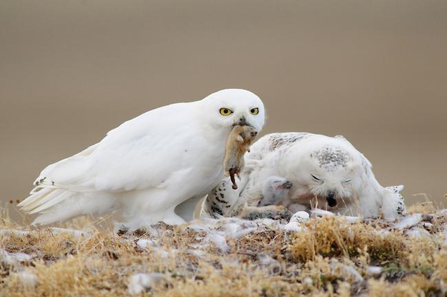 Snowy-Owl-Vyn-080625-0180