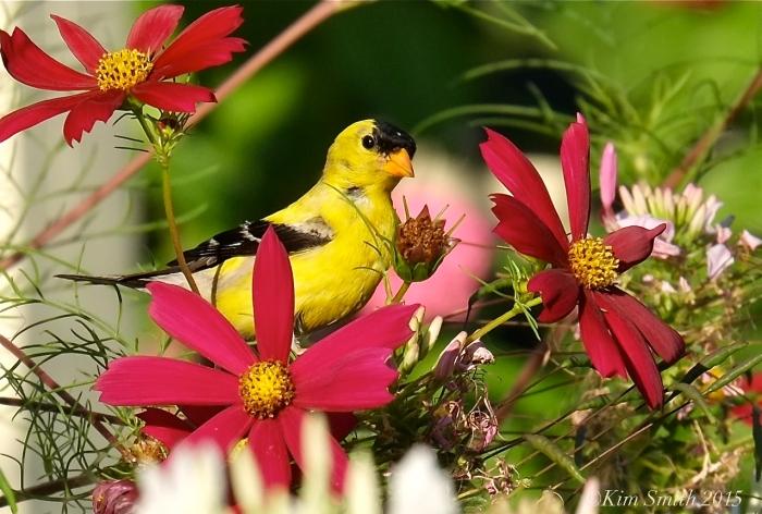 American Goldfinch -1 ©Kim Smith 2015