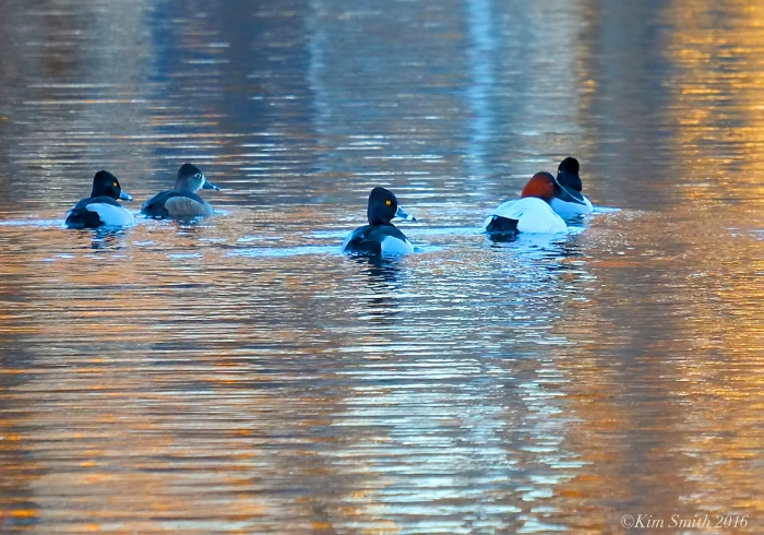 Canvasback and Ring-necked Duck Niles Pond ©Kim Smith 2016