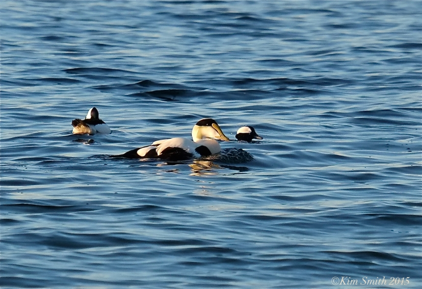 Common Eider Bufflehead ©Kim Smith 2016