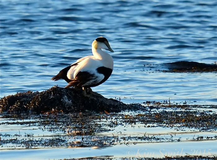 Common Eider Male ©Kim Smith 2015