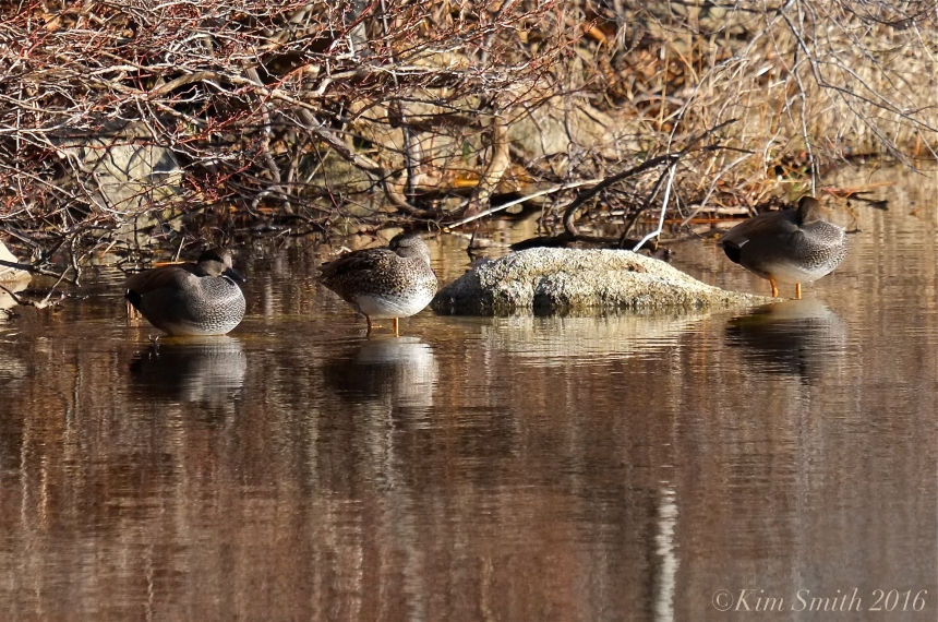 Gadwall Niles Pond Gloucester massachusetts ©Kim Smith 2016