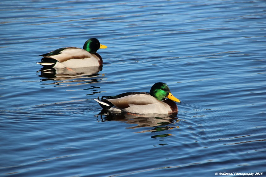 January 2, 2016 Mallards on Niles Pond