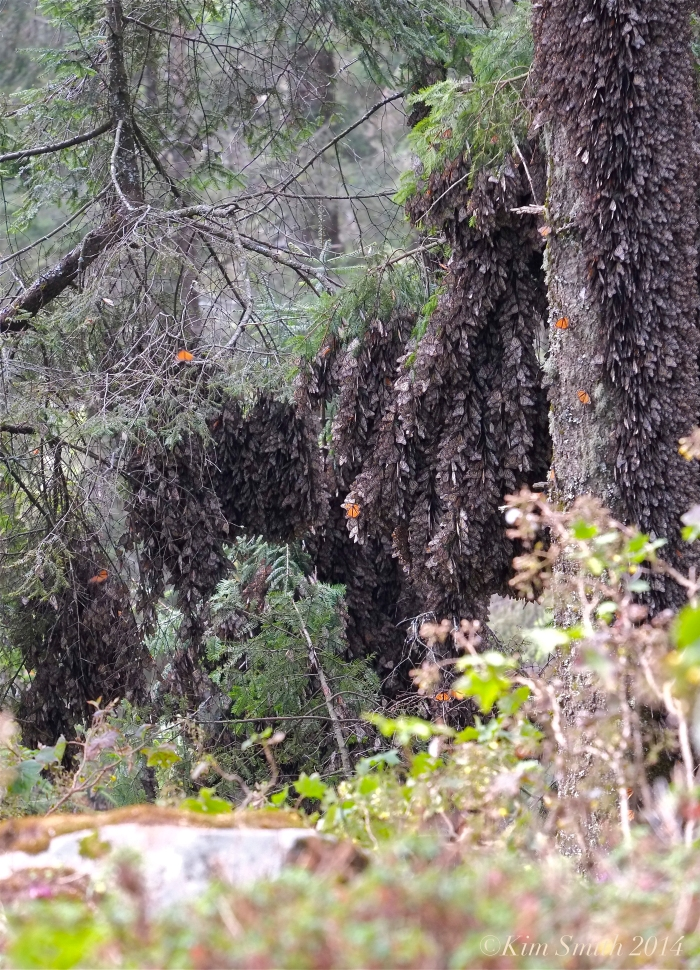 Monarch butterflies oyamel trees Abeis religiosa ©Kim Smith 2014 copy