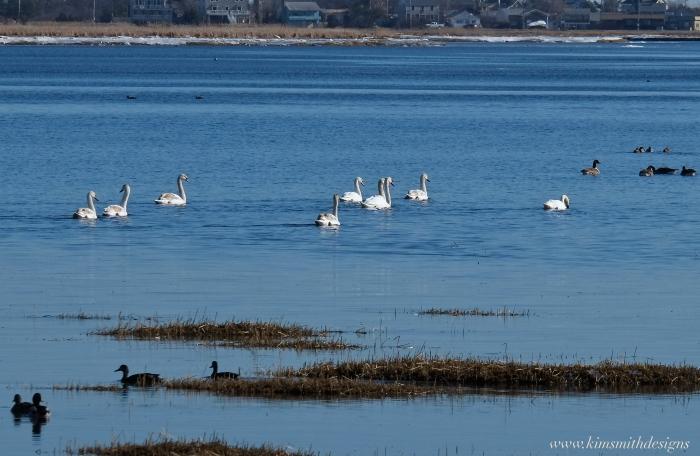Mute swans Plum Island www.kimsmithdesigns.com 2016