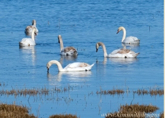 One year old Mute Swans Plum Island www.kimsmithdesigns.com 2016