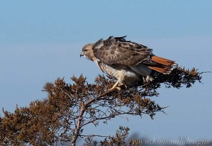 Red-tailed Hawk Plum Island-2 www.kimsmithdesigns.com