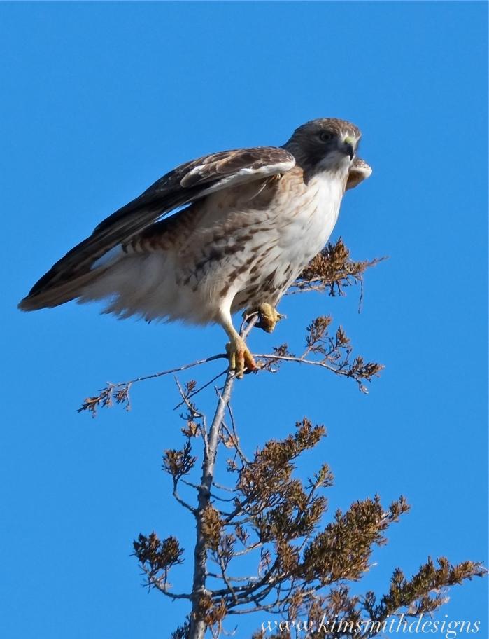 Red-tailed Hawk Plum Island www.kimsmithdesigns.com