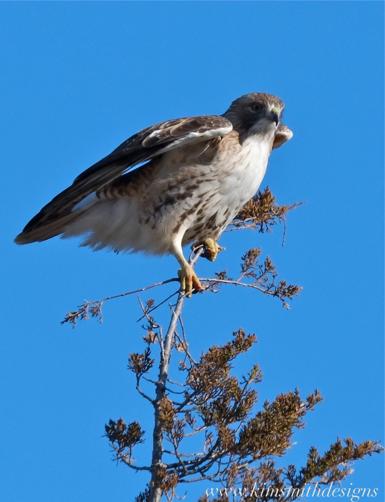 Red-tailed Hawk Plum Island www.kimsmithdesigns.com