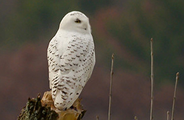 snowy-owl_268