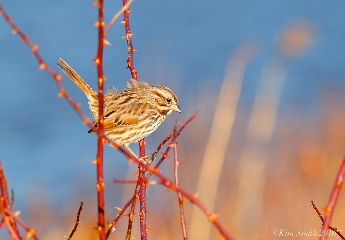 Song Sparrow Eastern Point ©Kim Smith 2016