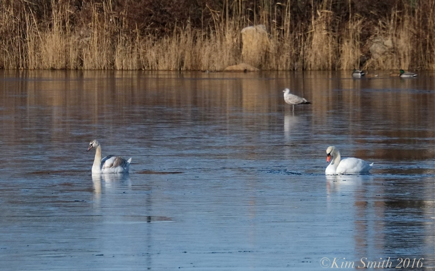 Swans Niles Pond Eastern Point Gloucester ©Kim Smith 2016