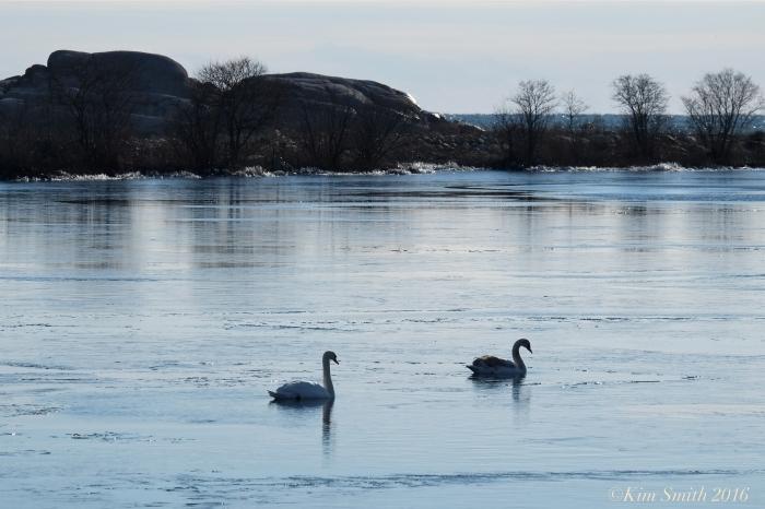 Swans Niles Pond Gloucester ©Kim Smith 2016