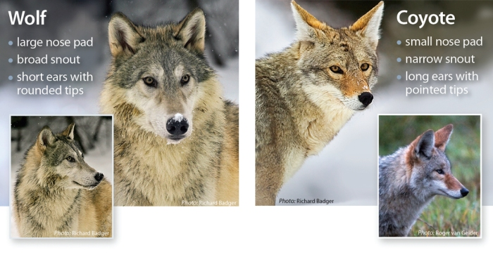WolfCoyoteComparison
