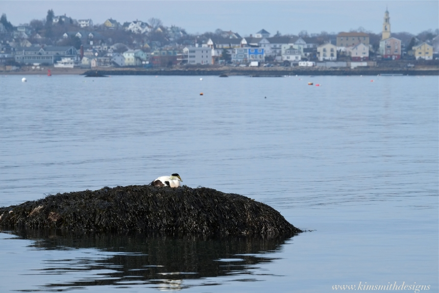 Common Eider Gloucester harbor www. kim smith designs