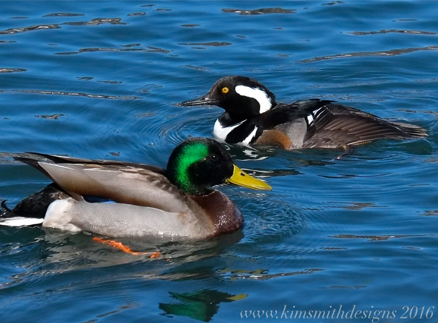 Hooded merganser male mallard www.kimsmithdesigns 2016