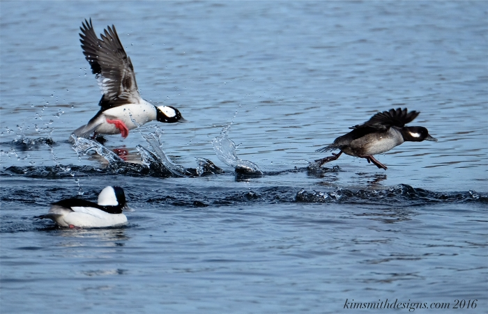 Male female bufflehead courtship kimsmithdesigns.com 2016