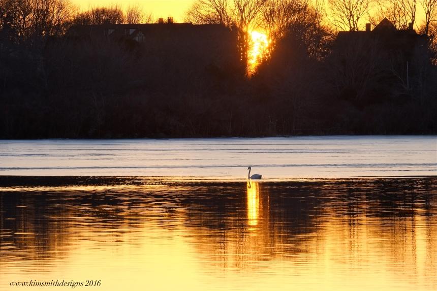 Swan Niles Pond www.kimsmithdesigns.com
