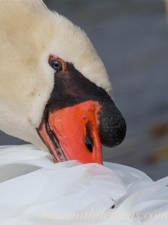 Blue eyed male mute swan cygnus olor Polish -2 kimsmithdesigns.com