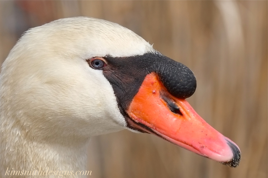 Blue eyed male mute swan cygnus olor Polish -3 kimsmithdesigns.com