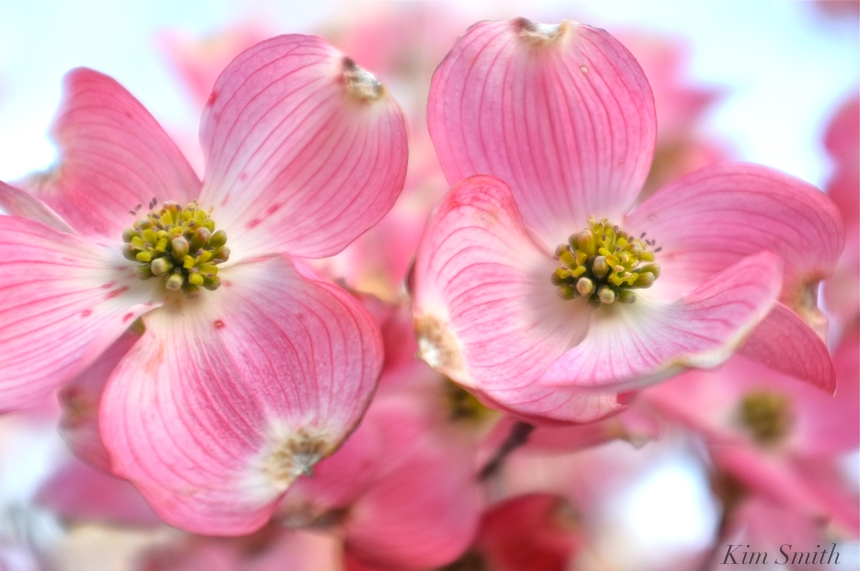 Pink flowering dogwood Cornus florida rubra Kim Smith