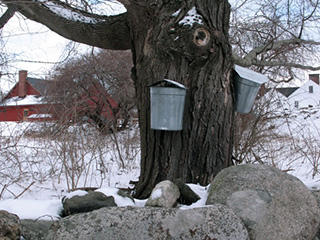 sap-buckets-on-tree-c-marie-anne-verougstraete_large_landscape