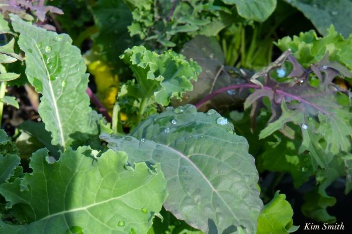 Cedar Rock Gardens Kale Kim Smith