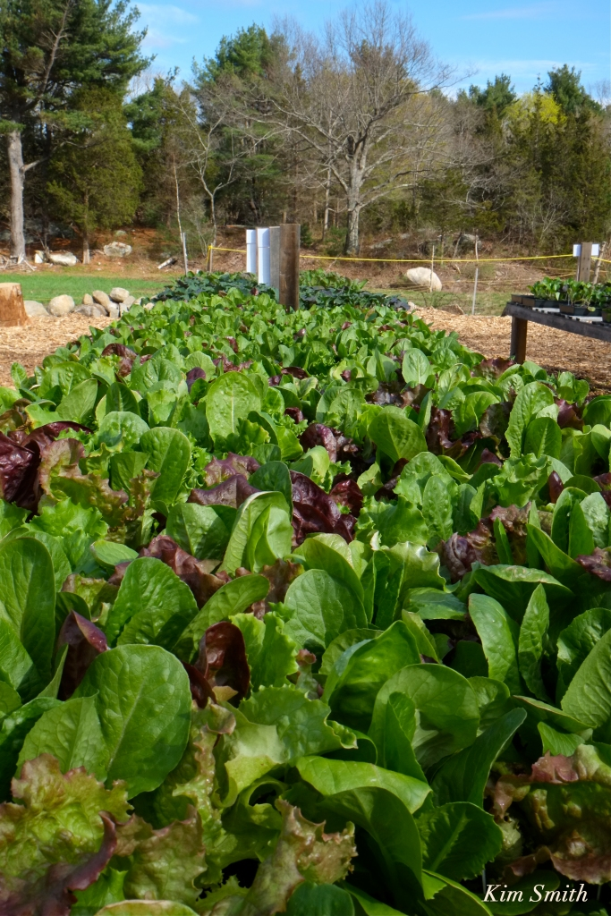 Cedar Rock Gardens Organic Romaine lettuce Kim Smith