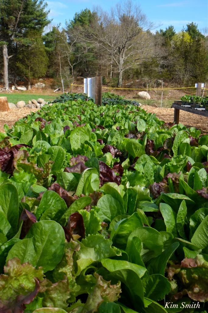 Cedar Rock Gardens Organic Romaine lettuce Kim Smith