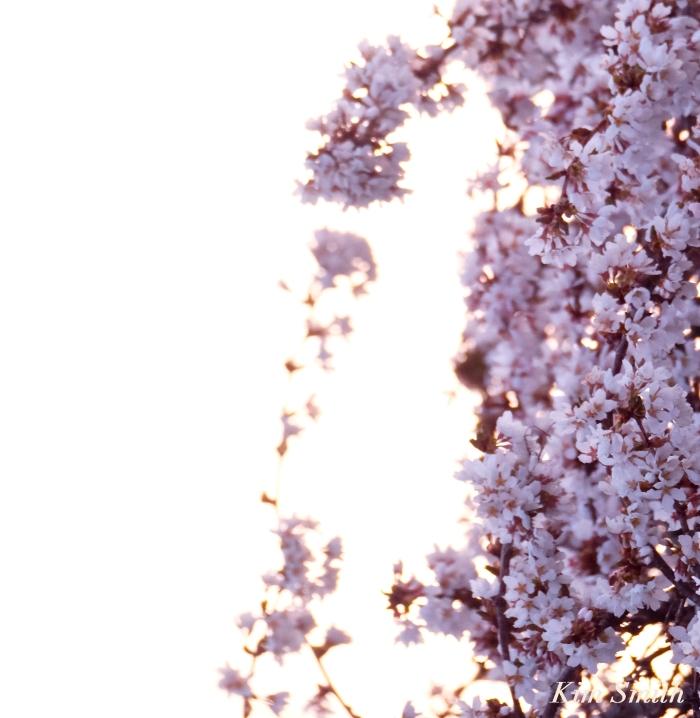 Cherry Blossom Cascade Kim Smith