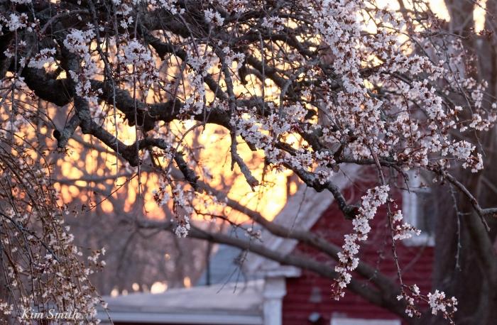 Cherry Blossom Plum Stree East Gloucester Kim Smith