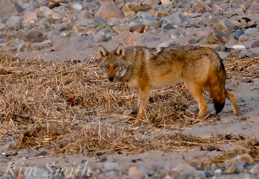 Eastern Coyote Canis latrans massachusetts Kim Smith