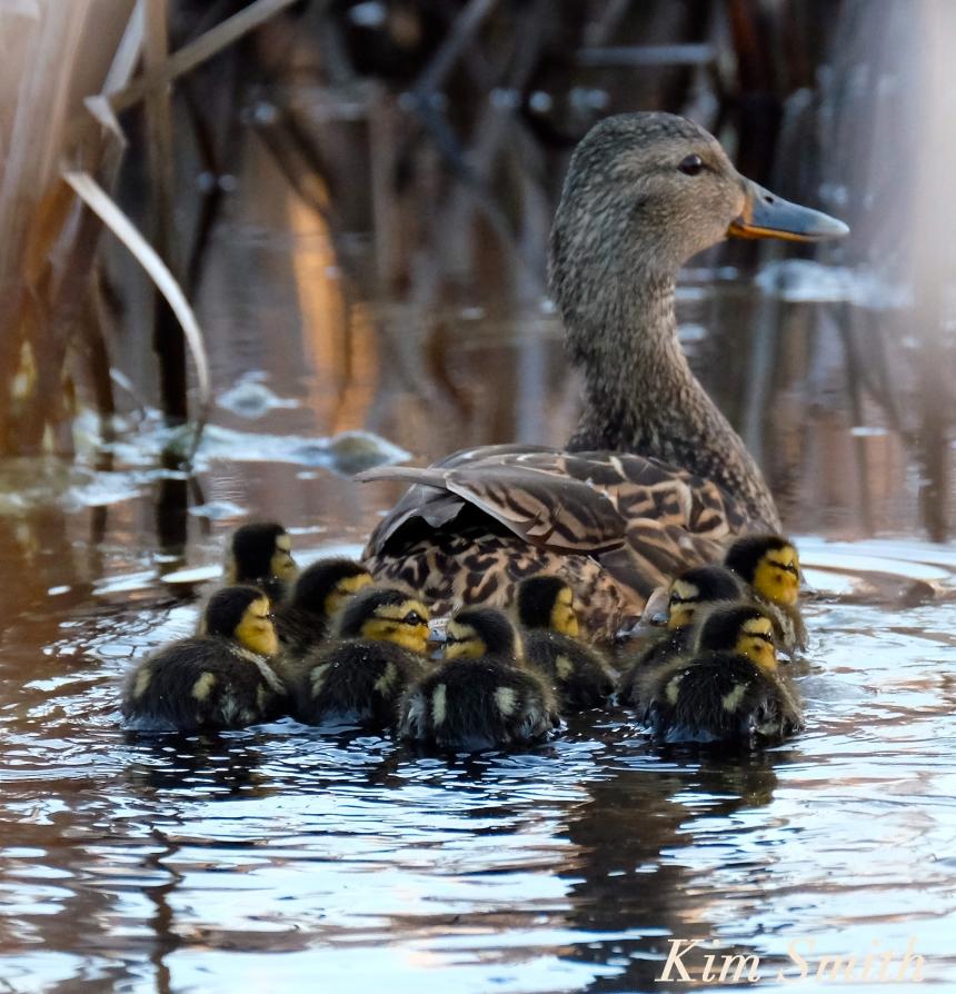 Female Mallard Nine ducklings Kim Smith