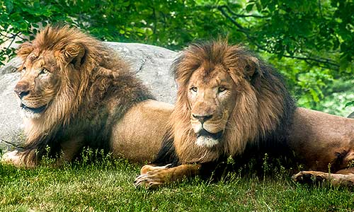 lions_gallery2