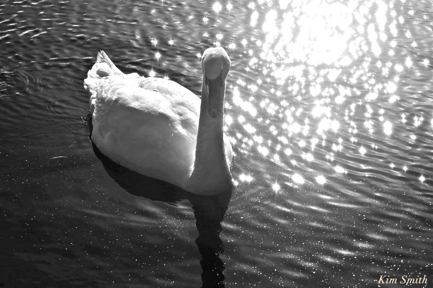 Mute swan Kim Smith