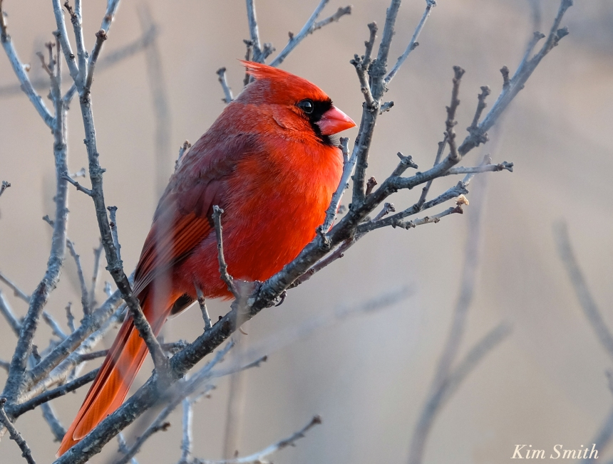 Northern Cardinal Male Kim Smith