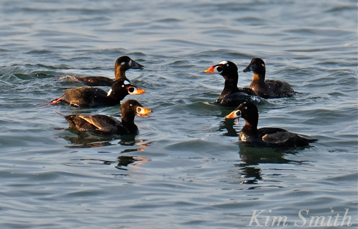 Surf Scoter Cape Ann Massachusetts Kim Smith 2016
