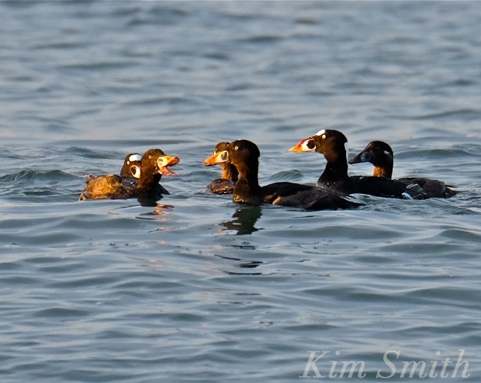 Surf Scoter Cape Ann Massachusetts male female Kim Smith 2016