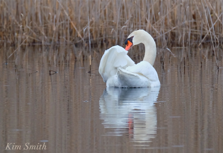 Swan male rockport MA Kim Smith