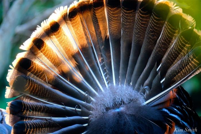 Turkey feathers fanning male Tom Turkey Kim Smith 2016