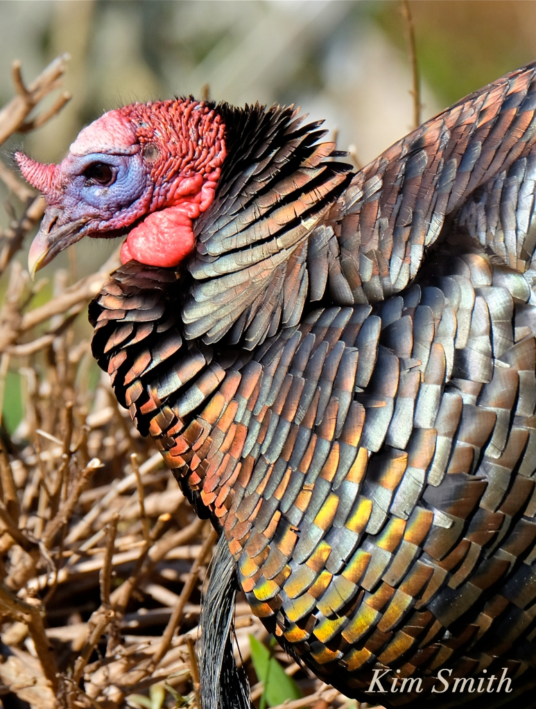 Turkey male iridescent feathers -2 Kim Smith