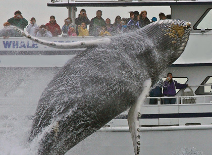 whale-watching-gloucester-ma-cape-ann-boston-breach-22