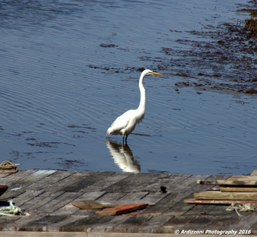 April 29, 2016 Beautiful Egret at low tide on Little River