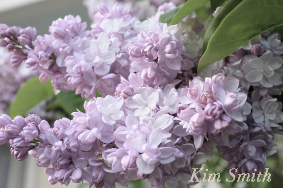 Beauty of Moscow Lilac copyright Kim Smith