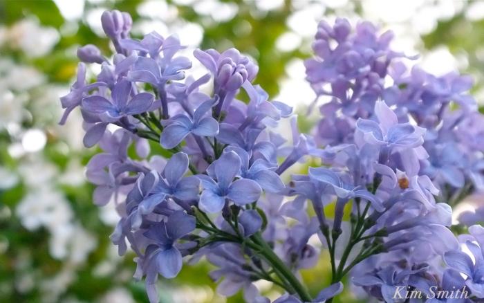 Blue Lilac President Grevy copyright Kim Smith