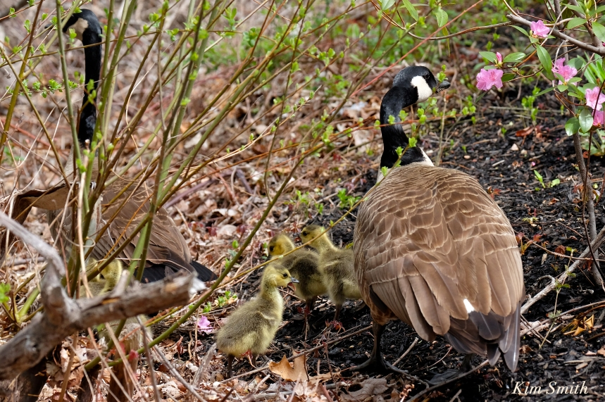 canada geese goslings c Kim Smith
