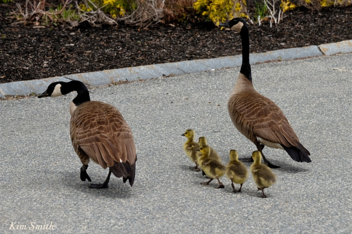 canada geese goslings crossing road c Kim Smith