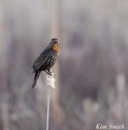 Female Red-winged Blackbird copyright Kim Smitrh