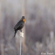 Female Red-winged Blackbird copyright Kim Smitrh